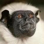 405342 sagui de duas cores 150x150 Animais ameaçados de extinção: fotos
