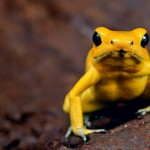405342 sapo dourado 150x150 Animais ameaçados de extinção: fotos