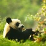 405342 urso panda 150x150 Animais ameaçados de extinção: fotos