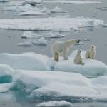 405342 urso polar 150x150 Animais ameaçados de extinção: fotos