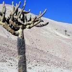 406136 Cactus atacama 150x150 Paisagens de deserto: fotos