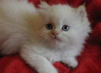 406933 Adoção de gatos – dicas cuidados Adoção de gatos: dicas, cuidados