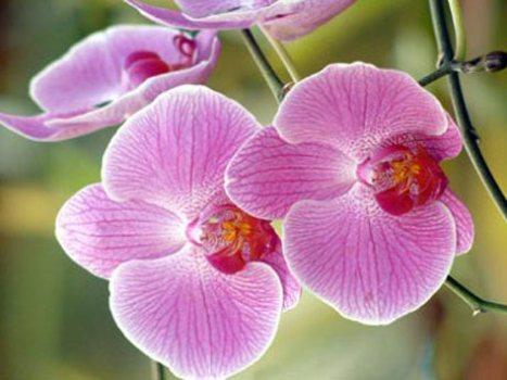 407792 Como cultivar orquídeas em casa dicas 1 Como cultivar orquídeas em casa: dicas