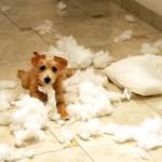 407901 51 150x150 Cachorros: fotos engraçadas