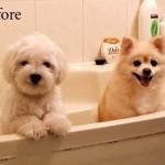 407901 antes e depois 150x150 Cachorros: fotos engraçadas