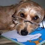 407901 cachorro de oculos 150x150 Cachorros: fotos engraçadas