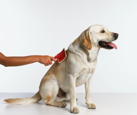 409852 Como manter seu cão sempre cheiroso2 Como manter seu cão sempre cheiroso