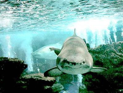 410196 Fotos de tubarões espécies tamanhos Fotos de tubarões: espécies, tamanhos