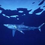 410196 Fotos de tubarões espécies tamanhos5 150x150 Fotos de tubarões: espécies, tamanhos