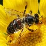 410219 Fotos de abelhas curiosidades e apicultura 150x150 Fotos de abelhas: curiosidades e apicultura