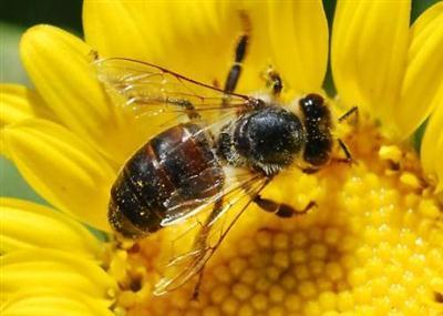 410219 Fotos de abelhas curiosidades e apicultura Fotos de abelhas: curiosidades e apicultura