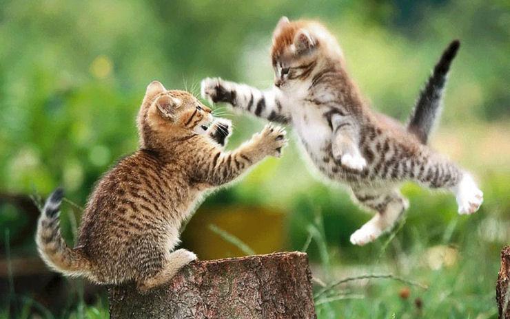 416080 Gatos agressivos como lidar1 Gatos agressivos, como lidar