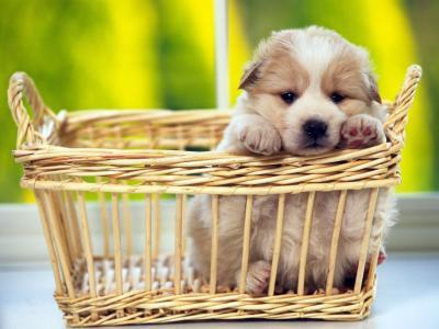 417781 filhote ado%C3%A7%C3%A3o Filhotes de cachorro para adoção SP