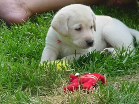 417781 labrador filhote de cachorro para adoo 20120103154332 Filhotes de cachorro para adoção SP