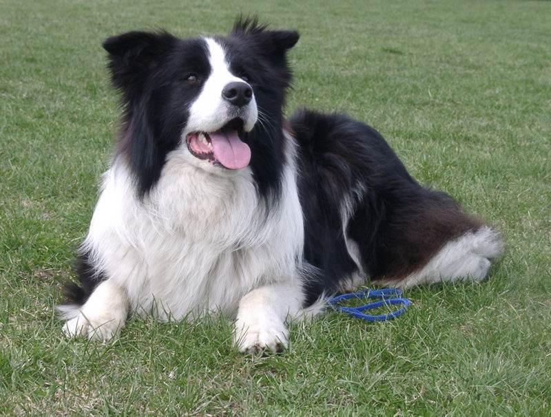 421056 Border Collie Nomes para cachorros: dicas