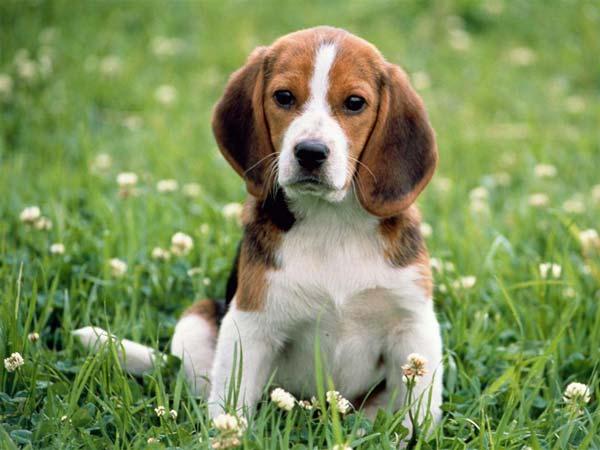 421056 beagle Nomes para cachorros: dicas