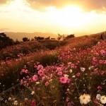 425990 Campo de flores de outono em Wakayama Japão 150x150 Paisagens do outono: fotos