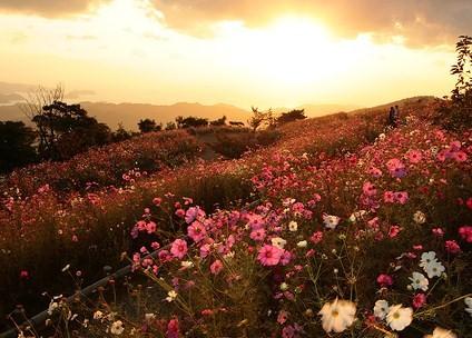 425990 Campo de flores de outono em Wakayama Jap%C3%A3o Paisagens do outono: fotos