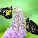 426588 As borboletas mais bonitas da natureza fotos 16 150x150 As borboletas mais bonitas da natureza: fotos