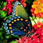 426588 As borboletas mais bonitas da natureza fotos 2 150x150 As borboletas mais bonitas da natureza: fotos