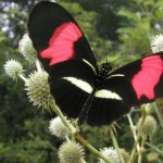 426588 As borboletas mais bonitas da natureza fotos 20 150x150 As borboletas mais bonitas da natureza: fotos