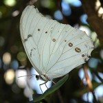 426588 As borboletas mais bonitas da natureza fotos 22 150x150 As borboletas mais bonitas da natureza: fotos