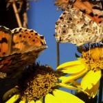 426588 As borboletas mais bonitas da natureza fotos 6 150x150 As borboletas mais bonitas da natureza: fotos