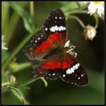 426588 As borboletas mais bonitas da natureza fotos 7 150x150 As borboletas mais bonitas da natureza: fotos