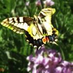 426588 As borboletas mais bonitas da natureza fotos 8 150x150 As borboletas mais bonitas da natureza: fotos