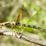 430396 Os insetos mais estranhos do mundo 11 150x150 Os insetos mais estranhos do mundo