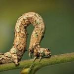 430396 Os insetos mais estranhos do mundo 16 150x150 Os insetos mais estranhos do mundo