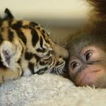431770 Amizade entre os animais fotos 14 150x150 Amizade entre os animais: fotos