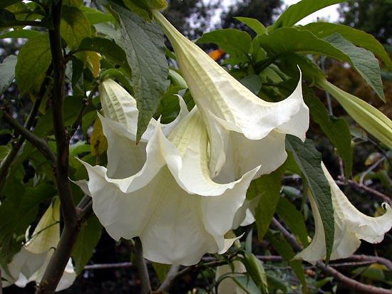 Fotos De Plantas Toxicas 1 Fotos De Plantas Toxicas 2 Fotos De Plantas