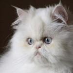 445021 Raças diferentes de cães e gatos fotos 01 150x150 Raças diferentes de cães e gatos: fotos