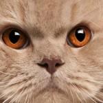 445021 Raças diferentes de cães e gatos fotos 04 150x150 Raças diferentes de cães e gatos: fotos
