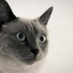 445021 Raças diferentes de cães e gatos fotos 05 150x150 Raças diferentes de cães e gatos: fotos