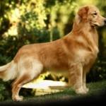 445021 Raças diferentes de cães e gatos fotos 20 150x150 Raças diferentes de cães e gatos: fotos