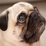 445021 Raças diferentes de cães e gatos fotos 24 150x150 Raças diferentes de cães e gatos: fotos