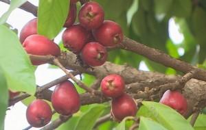Jambo: Fruta Abastecida de Nutrientes