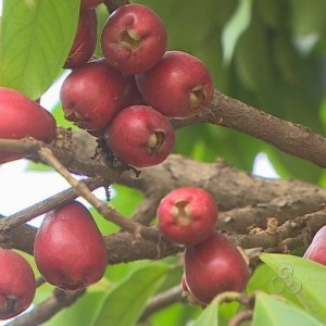 4483 jambo 2 300x300 Jambo: Fruta Abastecida de Nutrientes