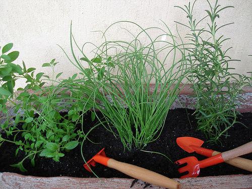 456529 Horta de ervas arom%C3%A1ticas como fazer 5 Horta de ervas aromáticas: como fazer