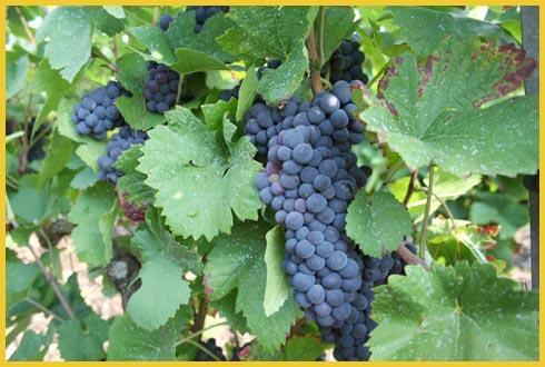 459658 Farinha de uva benefícios2 Farinha de uva: benefícios