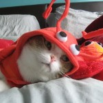 459946 Fotos de gatos fantasiados 14 150x150 Fotos de gatos fantasiados