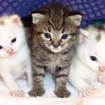 461494 Fotos de filhotes de gato bonitos 01 150x150 Fotos de filhotes de gato bonitos