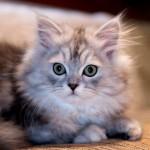 461494 Fotos de filhotes de gato bonitos 23 150x150 Fotos de filhotes de gato bonitos