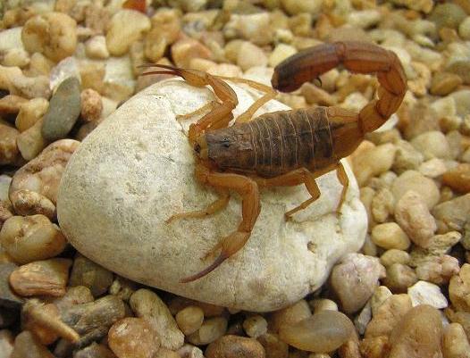 461723 scorp marina mineo3 Picada de escorpião: o que fazer