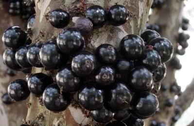 466810 Jabuticaba benef%C3%ADcios como consumir 1 Jabuticaba: benefícios, como consumir