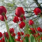 470111 Fotos da Holanda país das tulipas 02 150x150 Fotos da Holanda, país das tulipas