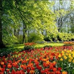 470111 Fotos da Holanda país das tulipas 11 150x150 Fotos da Holanda, país das tulipas