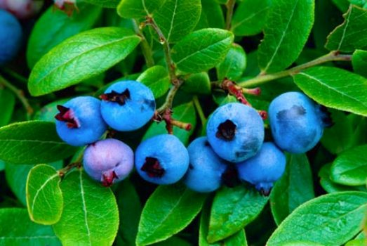 473059 Comer frutas pode diminuir problemas decorrentes da diabetes 1 Comer frutas pode diminuir problemas decorrentes da diabetes